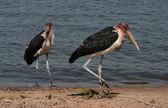 Dos pájaros feos — Foto de Stock