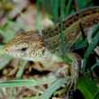 Lizard — Stock Photo #2744435