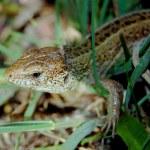 Lizard — Stock Photo #2744435