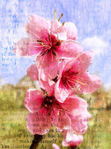 Spring flowering of a peach — Stock Photo