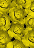 Beautiful yellow shining roses — Stock Photo