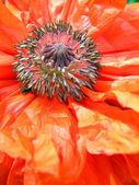 Red poppy — Stock Photo