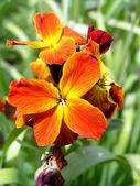 Orange-red flower — Stock Photo