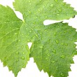 Grape leaves on a white 2 — Stock Photo