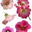 Mallow flowers isolated — Stock Photo