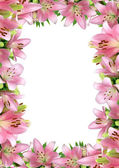 Frame of pink lilies — Stock Photo