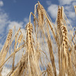 Barley ears on the background sky — Stock Photo