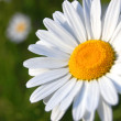 Daisy on a field - Stock Photo