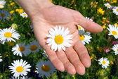 Hands holding a daisy — Stock Photo