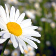 Stock Photo: Daisy on field
