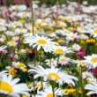 Field of daisies — Stock Photo #3623678