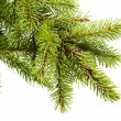 Christmas fir tree — Stock fotografie