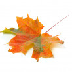 Autumn colorful maple leaf — Stock Photo