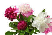 Colorful peony — Stock Photo
