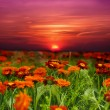 Sunset flower field - Stock Photo