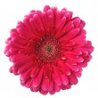Colorful gerbera — Stock Photo