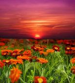 Západ slunce květina pole — Stock fotografie