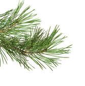 зеленые сосновые ветки — Стоковое фото