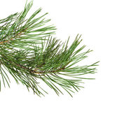 Green pine twig — Stock fotografie