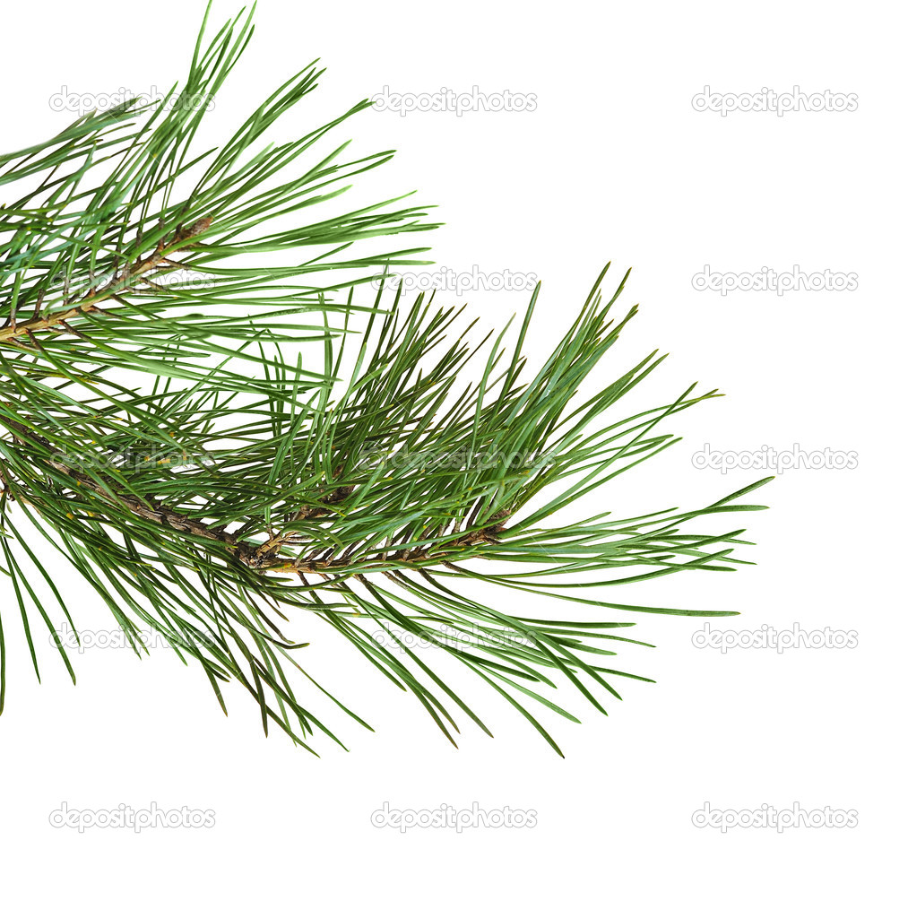 Green pine twig  on white background  — Stock Photo #3872326
