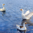 Three geese floating — Stock Photo