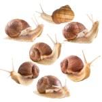 caracóis comestíveis — Foto Stock