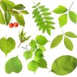 Set of green leaf — Stock Photo