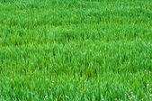 Het tarwe — Stockfoto