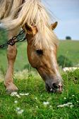 Horse eats grass. — Stock Photo