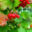 Stock Photo: Viburnum