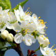 Spring flowering branch — Stock Photo