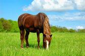 Horse in field — Stock fotografie