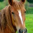 A portrait of horse is in the field — Stock Photo