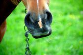 Koń usta z bliska — Zdjęcie stockowe