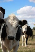 Vacas en una pequeña granja — Foto de Stock