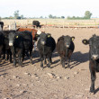 Cattle in a feed lot — Stock Photo