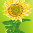 Stock Photo: Lonely sunflower on a green background