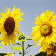 Stock Photo: Sunflower family