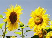 Sunflower family — Stock Photo