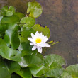 Water lily — Stock Photo #2750207