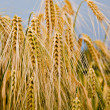 Ripe ears of wheat against the blue sky - Stock Photo