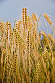 Ripe ears of wheat against the blue sky — Foto Stock