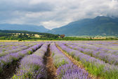 Purple landscape at a lavender farm. Lavender field — Stock Photo