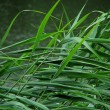 Grass in the rain. — Stock Photo
