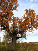 Autumn oak. — Foto Stock