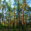 Pine pine forest. — Stock Photo