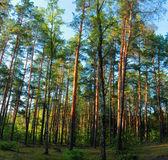 Pine pine forest. — Stockfoto