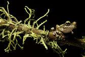 Tree frog between moss — Stock Photo