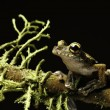 Tree frog between moss — Stock Photo #3061850