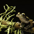Stock Photo: Tree frog between moss